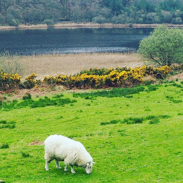 Sheep near blooming gorse by the lower Glendalough lake in county Wicklow. #irishstyle #sq1eurotour #wildwildlife http://bit.ly/2P8J9ug