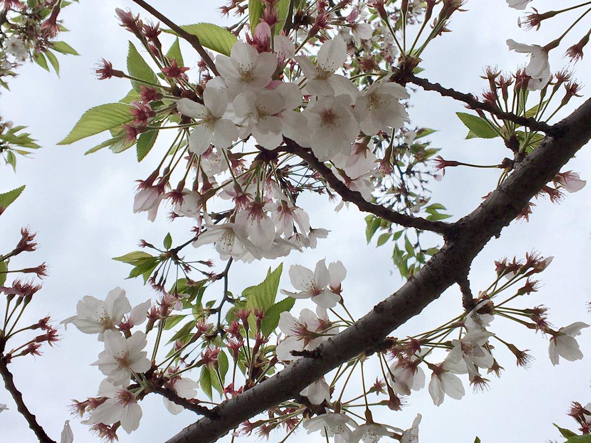 昨年末に転職をして、動乱状態の中にいます、桜も、こんな時期になって、やっと見上げる余裕ができました。日曜日には、斎藤陽道さんのイベントにも顔を出してきます。【4月14日開催】 いがらしみきお×齋藤陽道 in HMV&BOOKS SHIBUYA