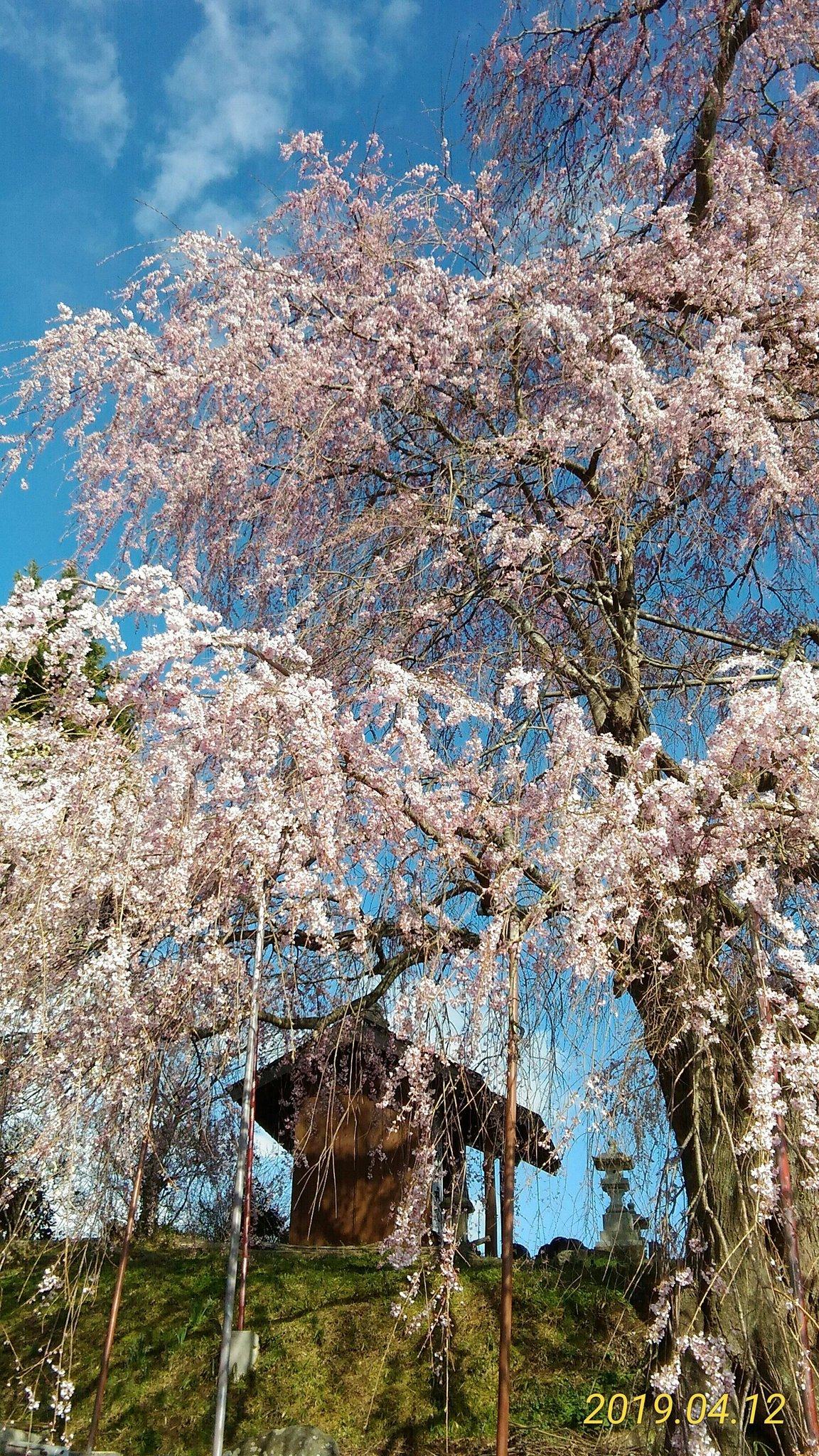 桜寄り道。古いカメラで散歩道。