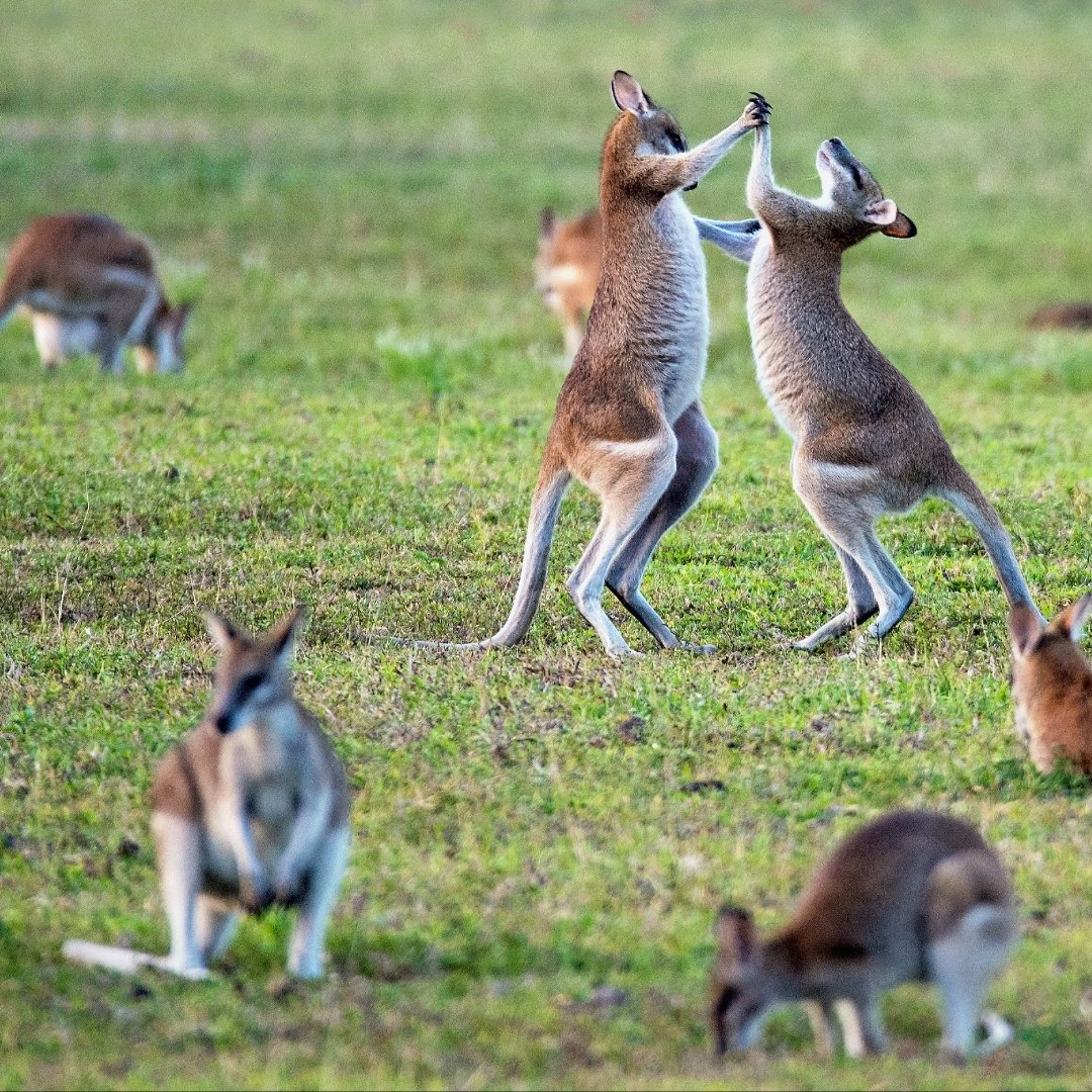 These aren't kangaroos? Nope! Wallaby's are a smaller cousin, but just as playful. If Australia is on your bucket list, we'd love to customize your adventure Down Under with our partners at @swaindest!