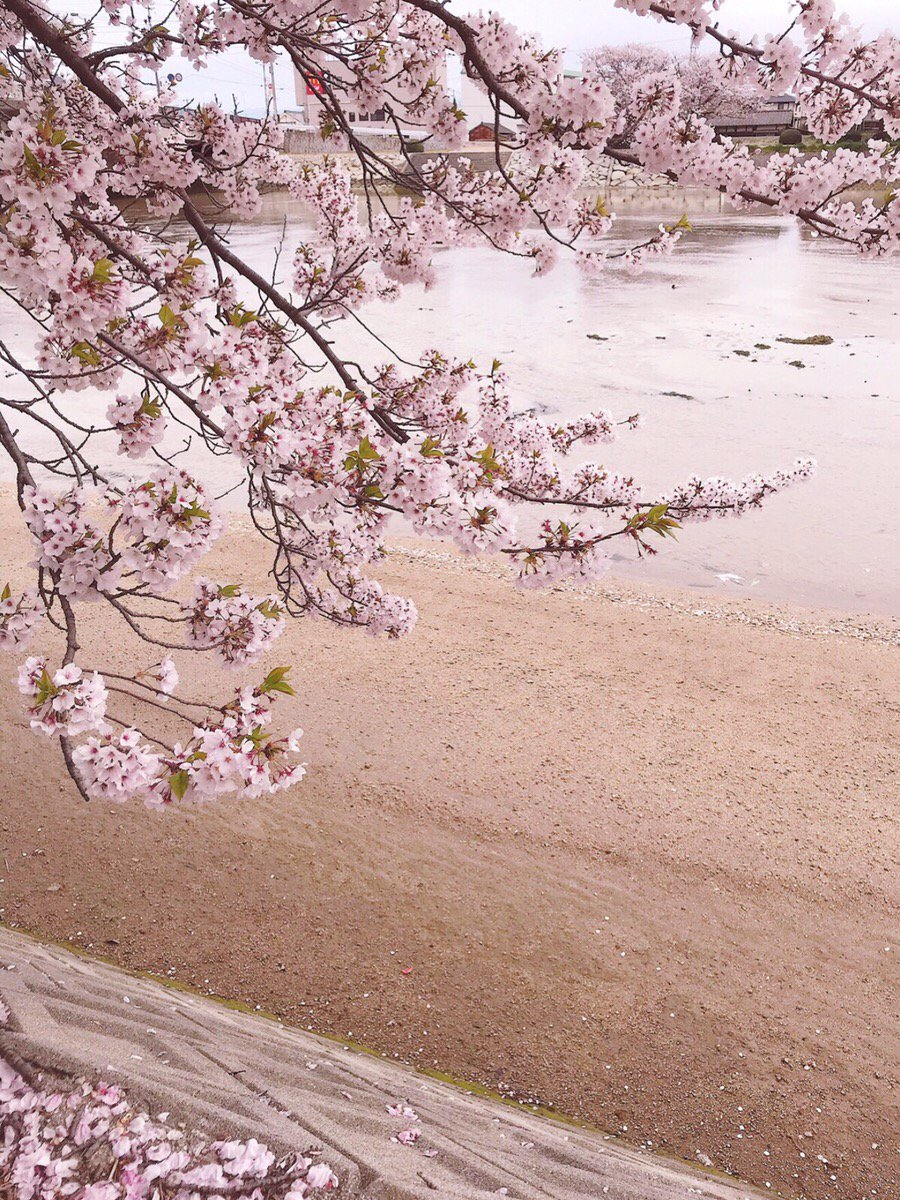 *サクラ* 満開だったサクラもチラチラと散って葉桜になっています‼公園がサクラの絨毯になってました♪ サクラが終われば次は紫陽花ですね(*^^*)#サクラ #サクラサク #サクラピンク  #スマホケース #手帳型スマホケース #可愛いスマホケース #人気スマホケース