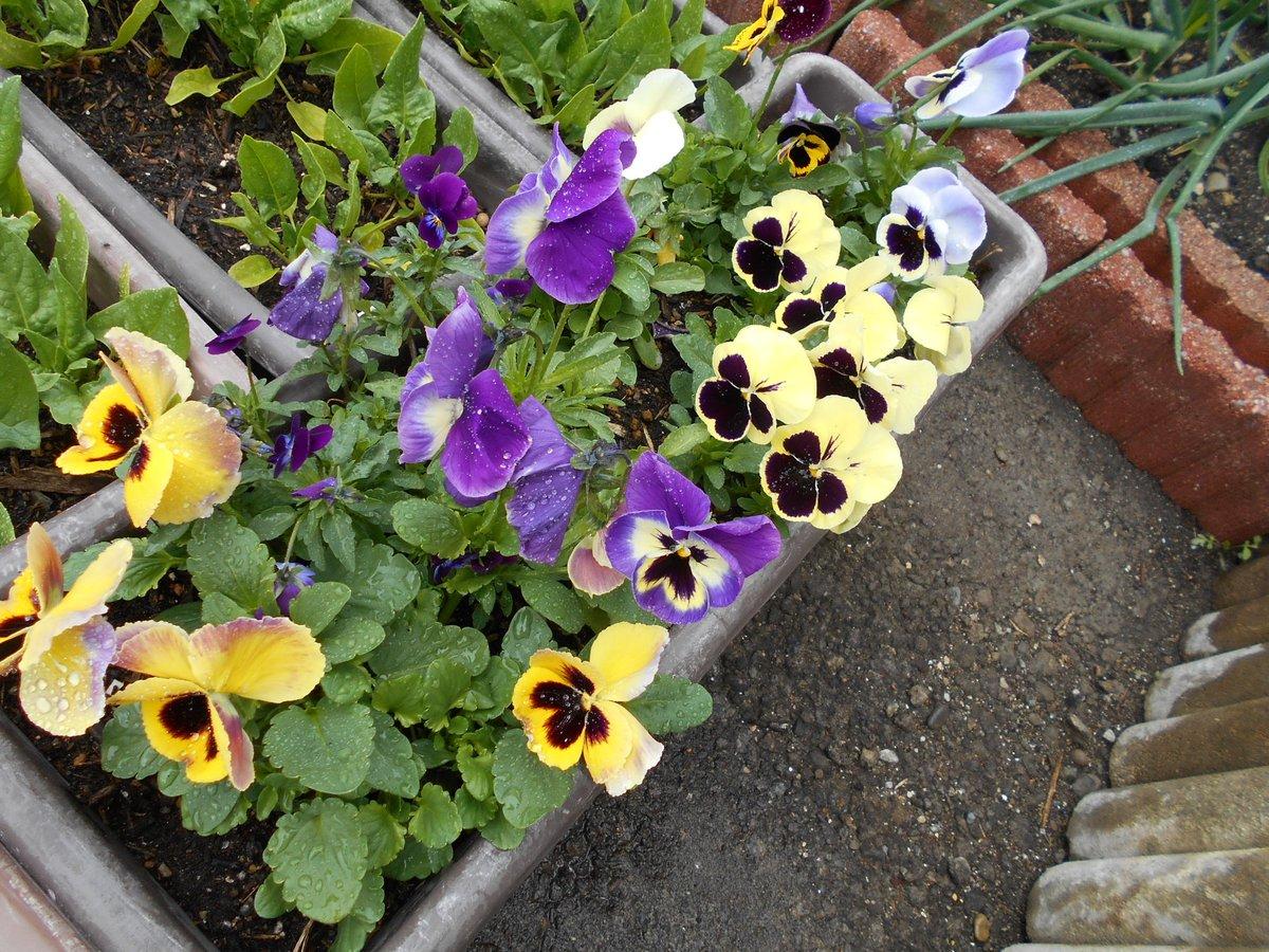 test ツイッターメディア - 4/12、野菜もいいけど、お花もいいよね~🎶  #ダイソー パンジー&ビオラ、来年もきっと蒔こう!この淡いクリーム色のパンジーも素敵だわ~💖 https://t.co/RxFyz5m348
