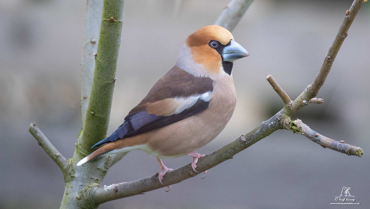 One of three migrant Hawfinches gracing our garden here in #Shetland today.