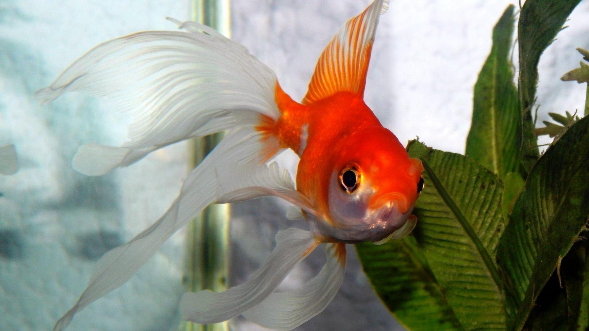 пейзаж картинки золотая рыбка на рабочем столе холодный