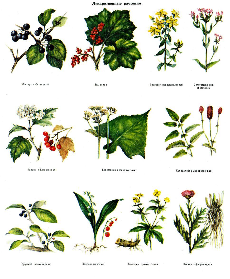каталог лекарственных растений с фото и названием