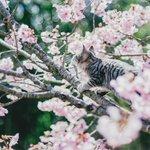 桜の写真撮影中に乱入してきたのは…!?幻想的すぎ写真集に載ってそう!