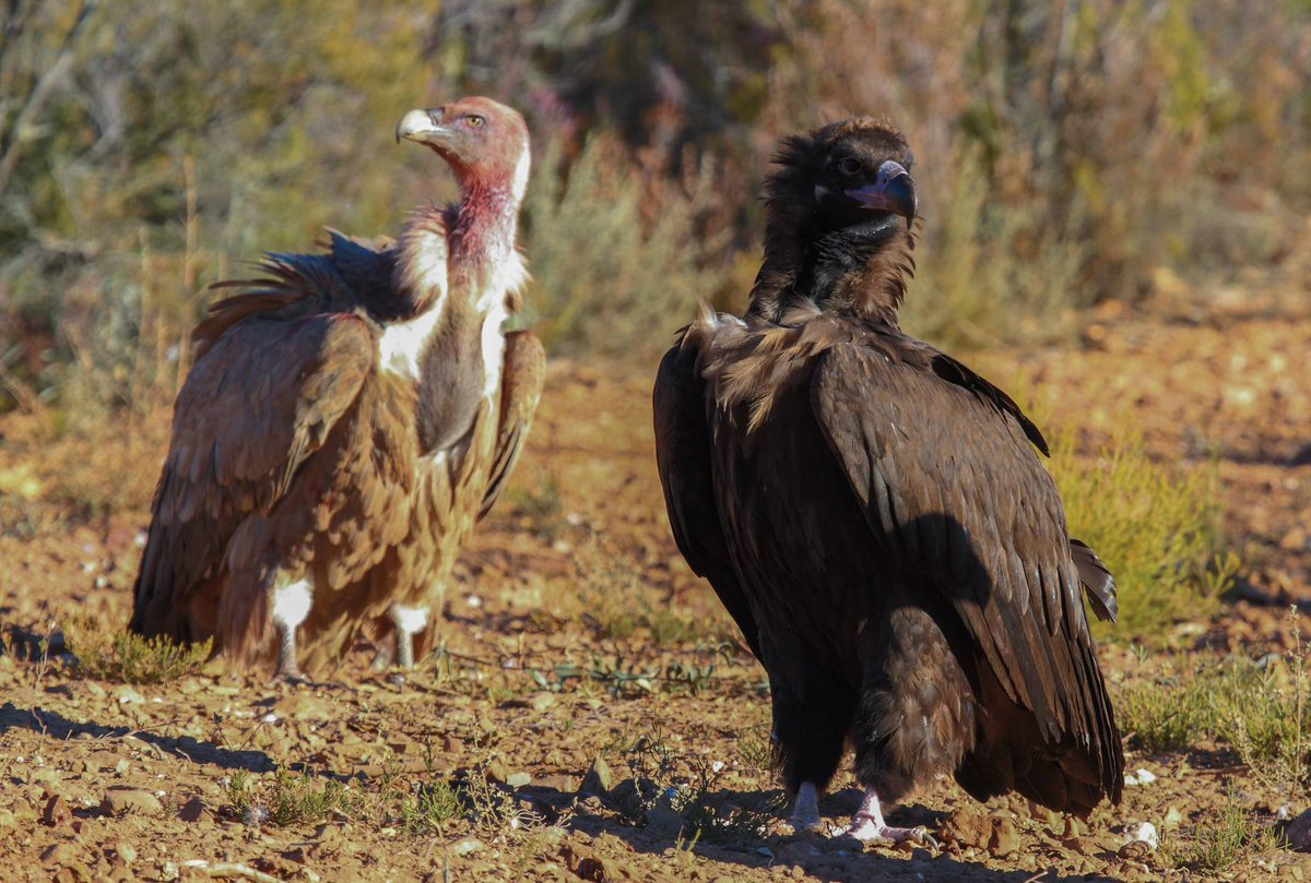 Griffon vulture (left) and cinereous vulture (right). Photo (C) by David Serrano Aceituno.