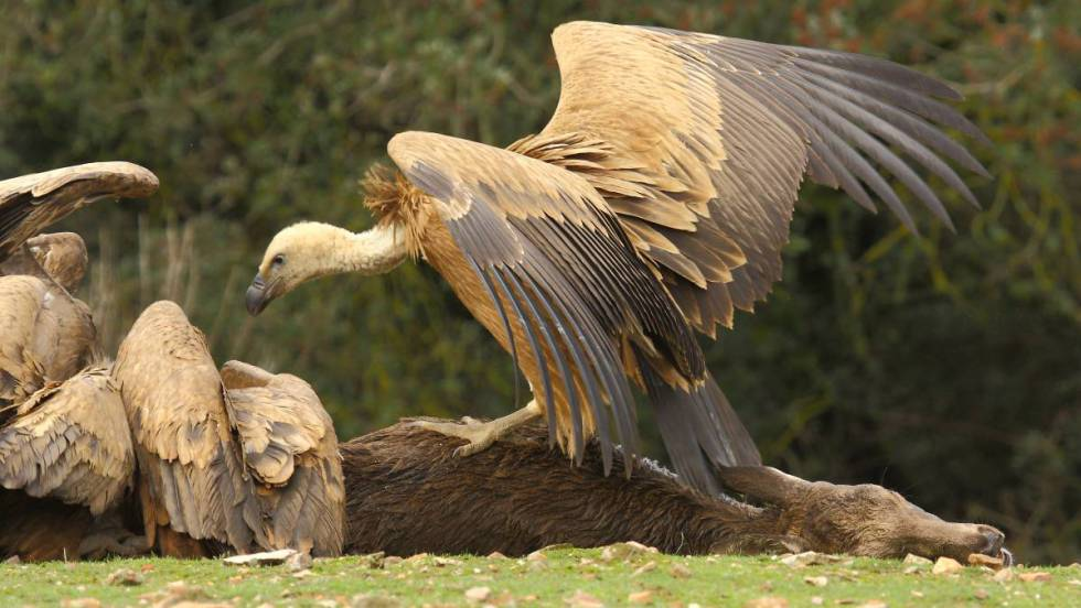 Griffon vultures eating carrion in Spain. Photo (C) by David Serrano Aceituno.