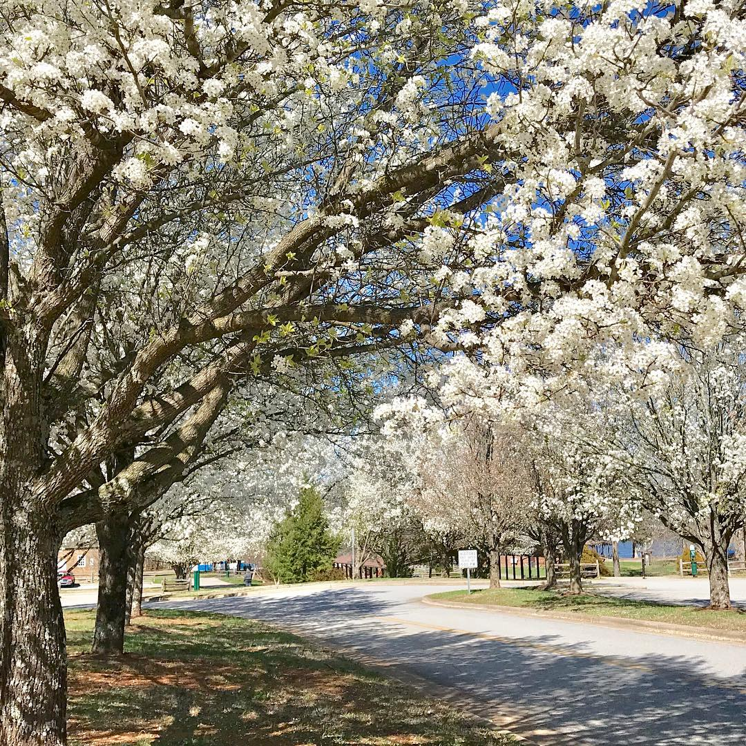 💮Blooming Bradford pear trees💮 (photo: @sphinxwgr) #repost #highpoint #highpointnc #visithighpoint #visitnc #nctourism #explorenc #travel #ncvacation #highpointcitylake #highpointcitylakepark #jamestownnc #springflowers #bradfordpear #nature #peartree #spring #triadnc