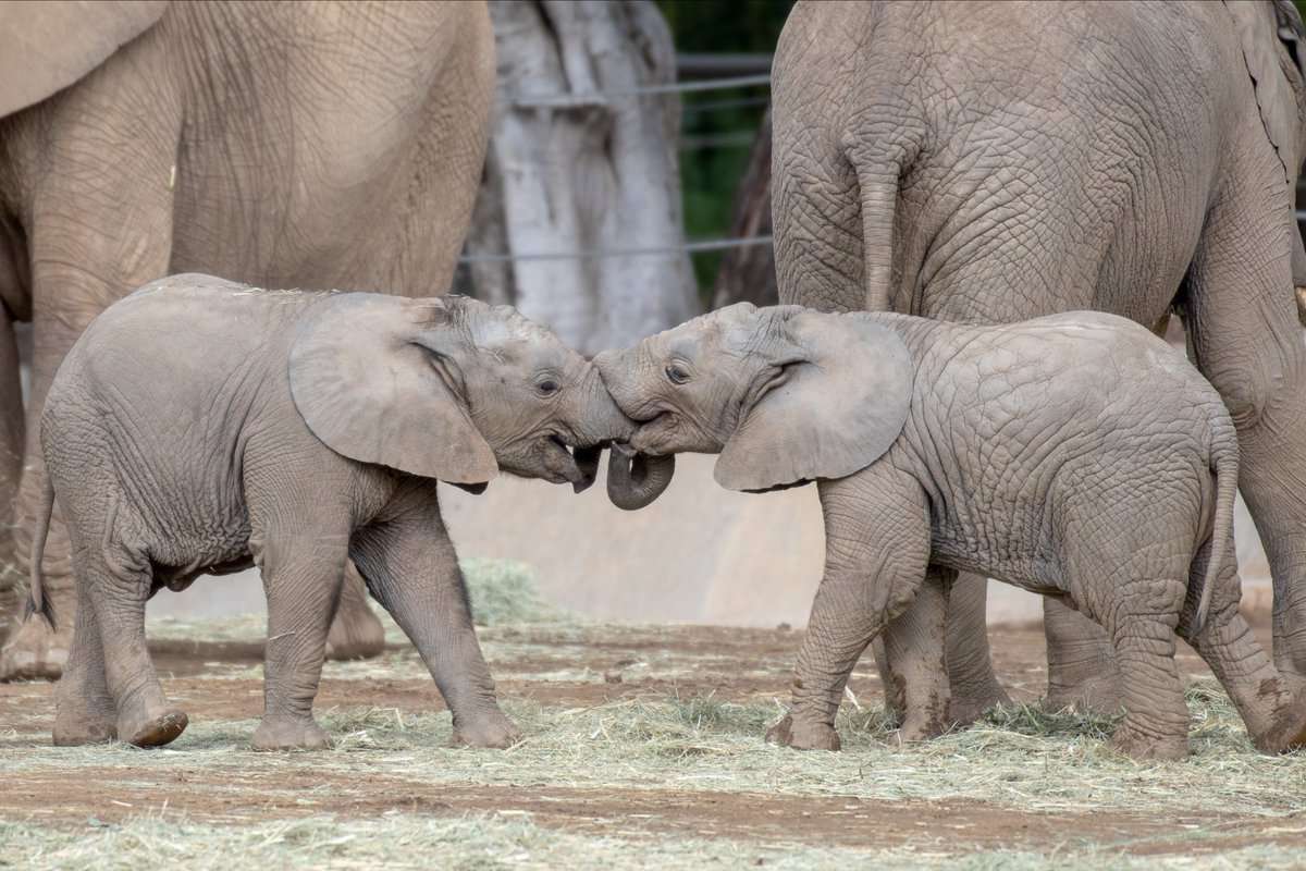 1,2,3,4- I declare a trunk war 5,6,7,8- can you guess our latest weights?  #pachydermpair Todd Lahman <br>http://pic.twitter.com/MNfOOWv5jk