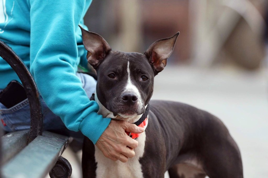 BAILEY DIES TOMORROW. Taken in as a stray, facing our betrayal, she still loves us, and likes dogs. We need a NYC-area adopter/foster or our pledges via @chortletown to attract a Rescue, or she's gone. Sharing her story boosts her chances: PLEASE RT https://www.facebook.com/mldsavingnycdogs/photos/to-be-killed-4419bailey-is-so-sweet-tiny-and-tons-of-fun-she-just-needs-some-tlc/951547001698237/…