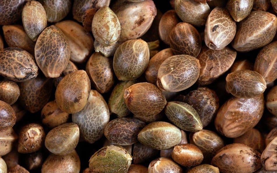 Волшебные целебные свойства конопляных семечек