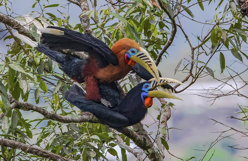 #NiFHiveFeature: A mating pair of Rufous-necked Hornbills photographed in the Mahananda Wildlife Sanctuary in West Bengal.   During the breeding season, hornbills look for natural nesting areas in cavities of old, wide-girthed trees.  Photographed by Sandipan Ghosh.