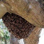 ミツバチの大群!ミツバチの引越しの途中!静かに見守りましょう!