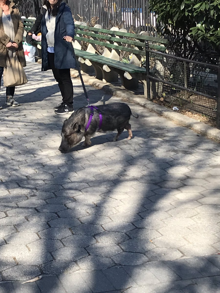 I shoved past Cynthia Nixon, Lorne Michaels and Hoda Kotb in quick succession to snap a pic of this pig <br>http://pic.twitter.com/SukabqR16d