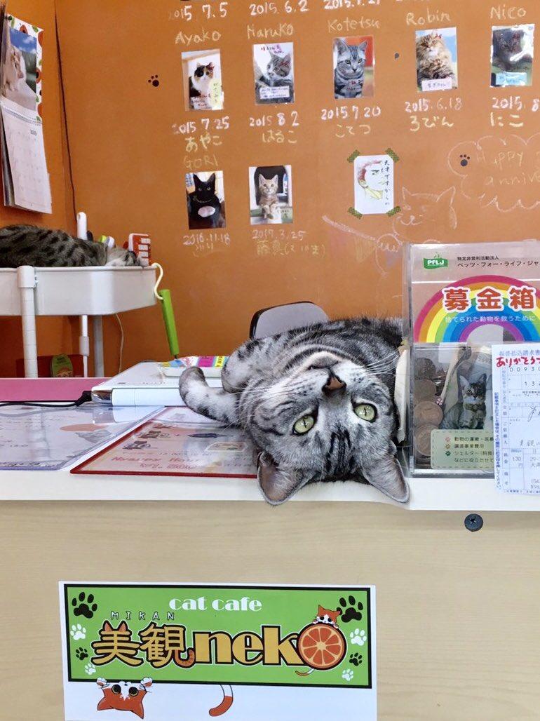 あれれれ〜!今日はお客さん少ないにゃ〜!オヤツ来ないにゃ〜! コテがお行儀悪過ぎます‼️ #美観地区カフェ #美観neko #猫カフェ #ねこ好き #アメリカンショートヘアー #catcafe  #CatsOnTwitter #americanshorthair #みかんねこ #ねこ部 #みんねこ #美観地区猫カフェ