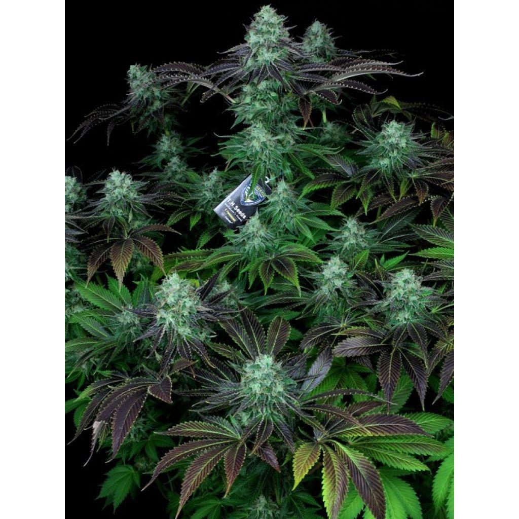 Конопли интересные сорта симптом марихуану