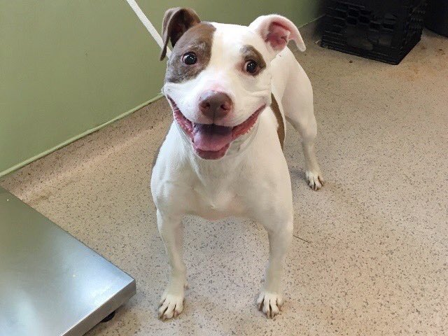 LOOK. AT. HER. SMILE. Honey Gilmore is on Saturday's kill list despite her absolute joy at being with people. Your $ pledges to attract a Rescue via @chortletown or a NYC-area adopter/foster can save her. The key is sharing her story so PLEASE RT https://m.facebook.com/mldsavingnycdogs/photos/a.745242932328646/952628281590109?type=3&sfns=mo…