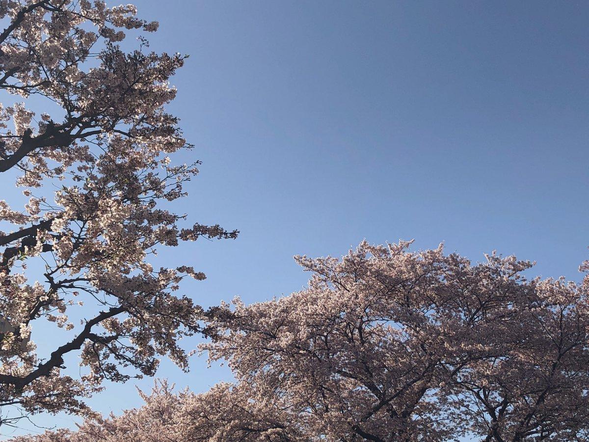#2019春出戻り転職したから、駅までの桜の遊歩道は通らなくなってしまった。それでも違う桜の、桜吹雪の下を歩いて通勤。こんなにもこの花はそこここで大切にされている。そして私と娘達の成長を見守ってもいくれている。#桜#新しい地図#ぷっくりニュース#スマ写真部