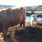 Image for the Tweet beginning: Two little #hebridean #highlander chaps