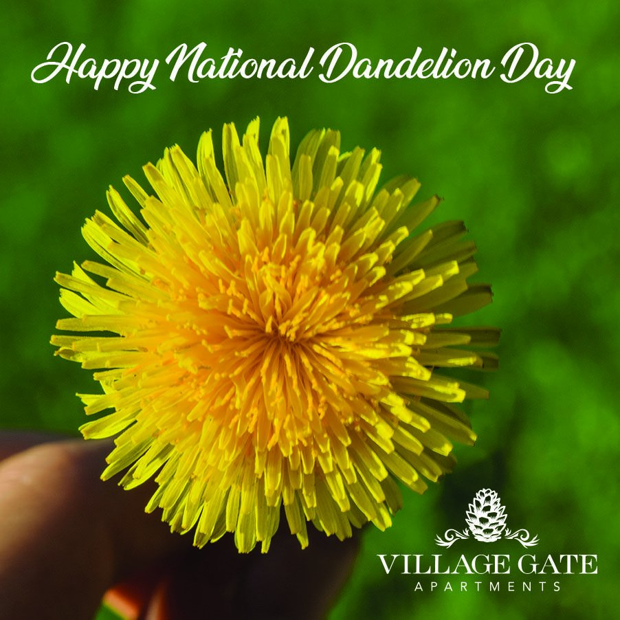 Dandelion Fun Fact!  Dandelion leaves are edible, and are savored in soups and salads. It is rich in vitamins A, B, C, and D. Dandelions are used in making wine and for tea, too. Native Americans used it for medicinal purposes.      Happy National Dandelion Day!