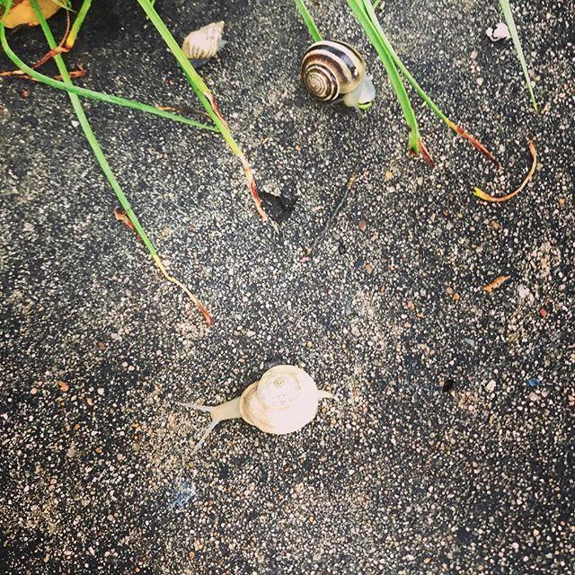 Snails 🐌 on our morning walk to school. I felt a couple of crunches when I stepped, although I tried to avoid them as best I could 🤦♀️ #teacher #teacherlife #iteachscience #iteachkindergarten #kindergartenteacher #teacherlife🍎 http://bit.ly/2G6yb5D