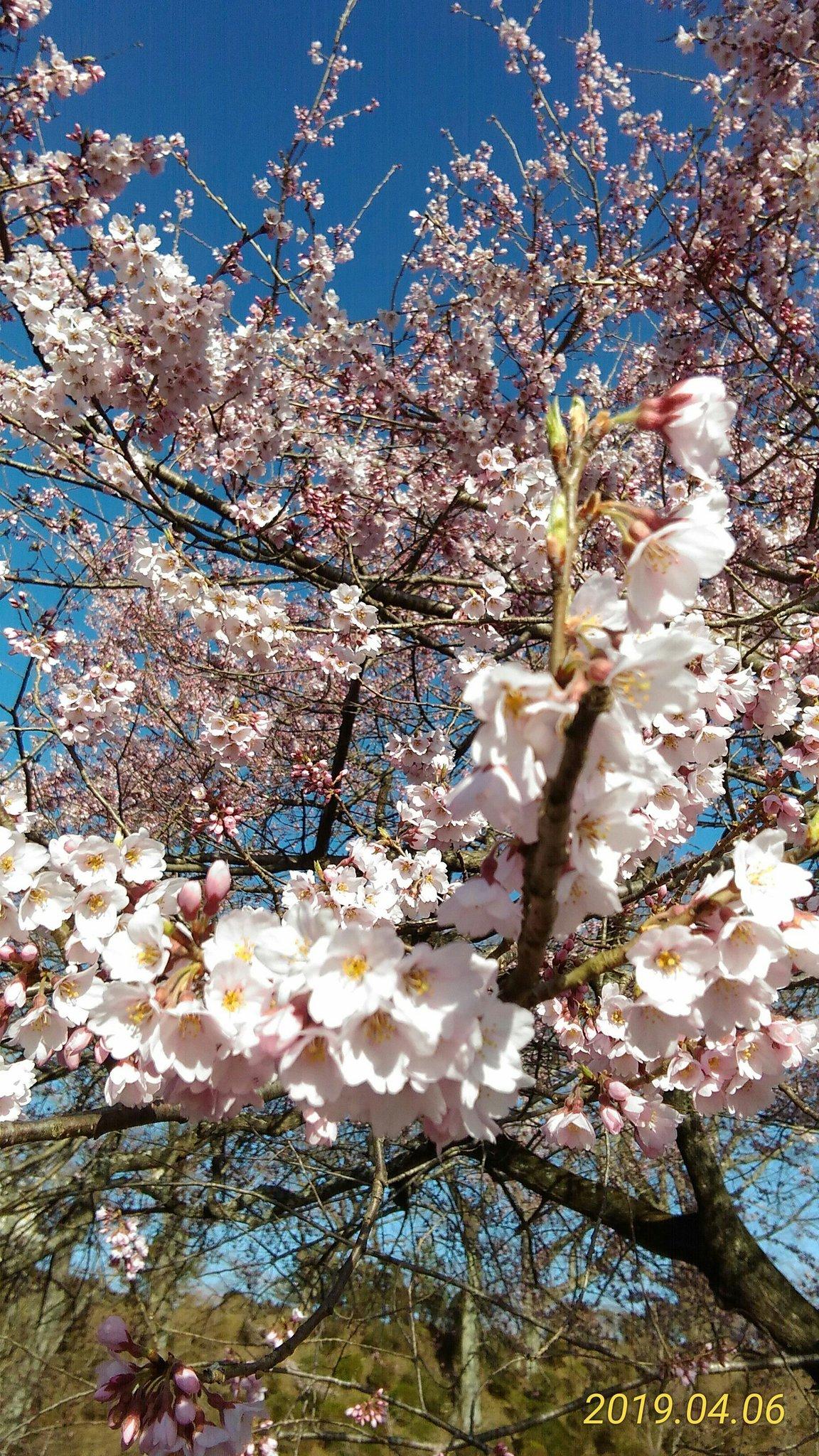桜前線到着&散歩道の憂鬱