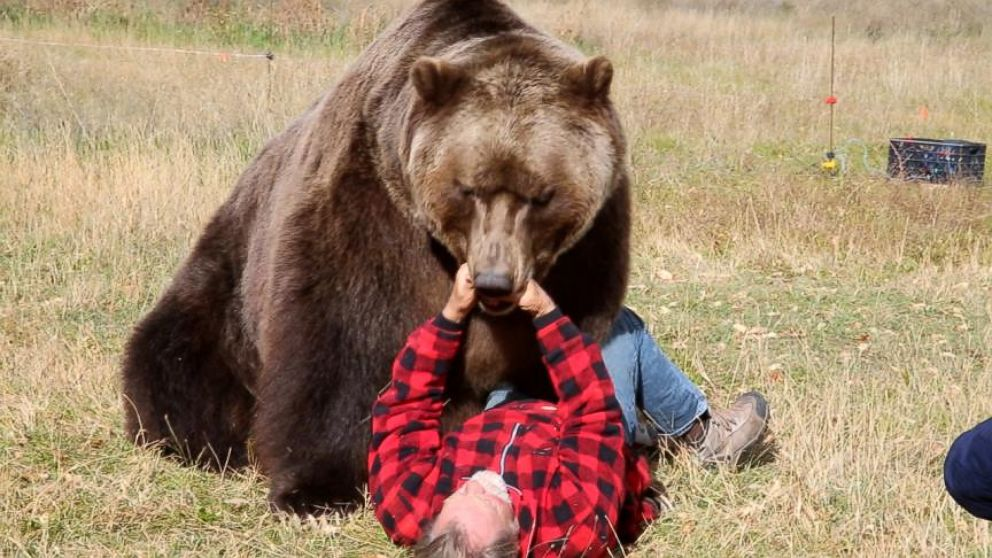 grizzly bear attacks - 1200×675