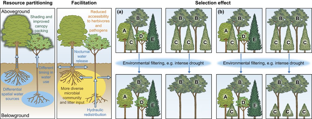 Having the right neighbors: how tree species diversity modulates drought impacts on forests @WSL_research  #Tansleyinsight http://ow.ly/SzwA50oueZL