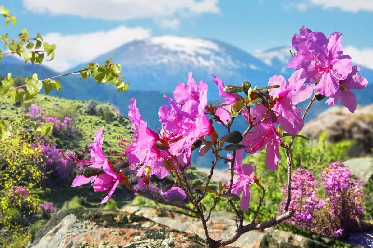 Картинки на рабочий стол цветение маральника