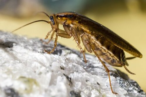Everyone knows what a cockroach looks like; they are everywhere. Often jokingly stated that if anything could survive a nuclear war, it would be a roach. It is clear they are survivors. Contact Extermitech for a free quote. Call 334-209-4590.   #extermitech #pestcontrol #roaches