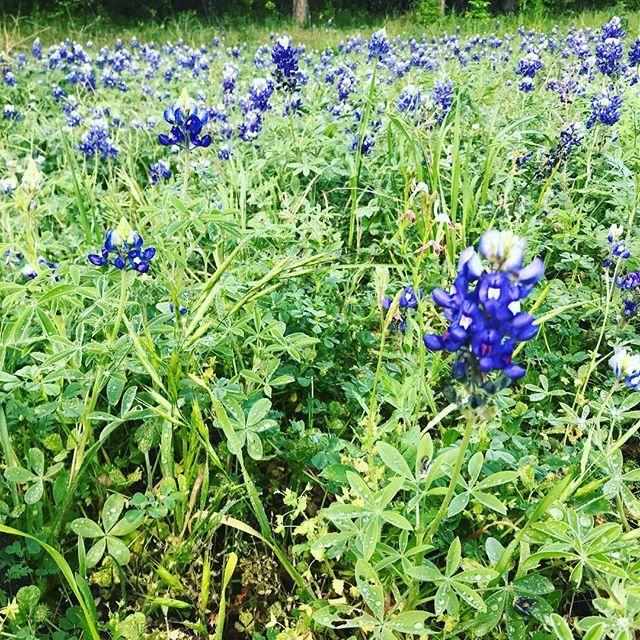 The Texas bluebonnets are out in full force! I love this time of year! #teachersofinstagram #iteachfirst #iteachk #kindergartenteacher #texas🇨🇱 #texasspring #texasteacher http://bit.ly/2I1B7lZ
