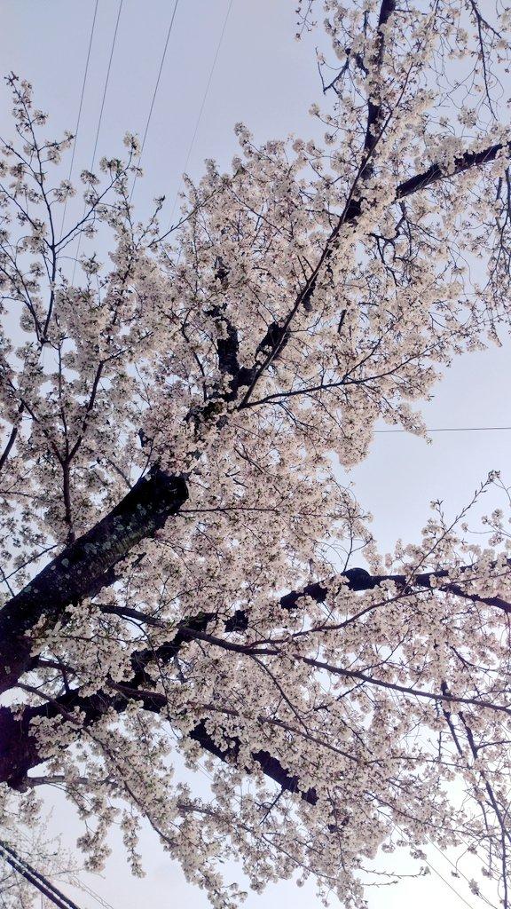 今までで一番桜を満喫してるかもしれない。今日も誰とも喋ってないけど。