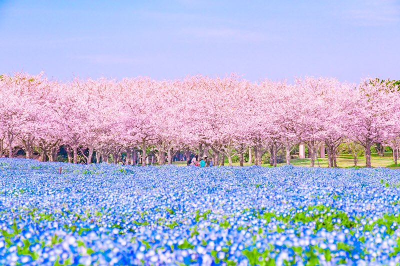 "Idyllic ""Spring Stripe"" of Cherry Blossoms and Nemophila Flowers Blooms in Japan"