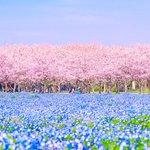 『福岡県 海の中道海浜公園』桜とネモフィラのコラボ♪なんて美しいの✨✨