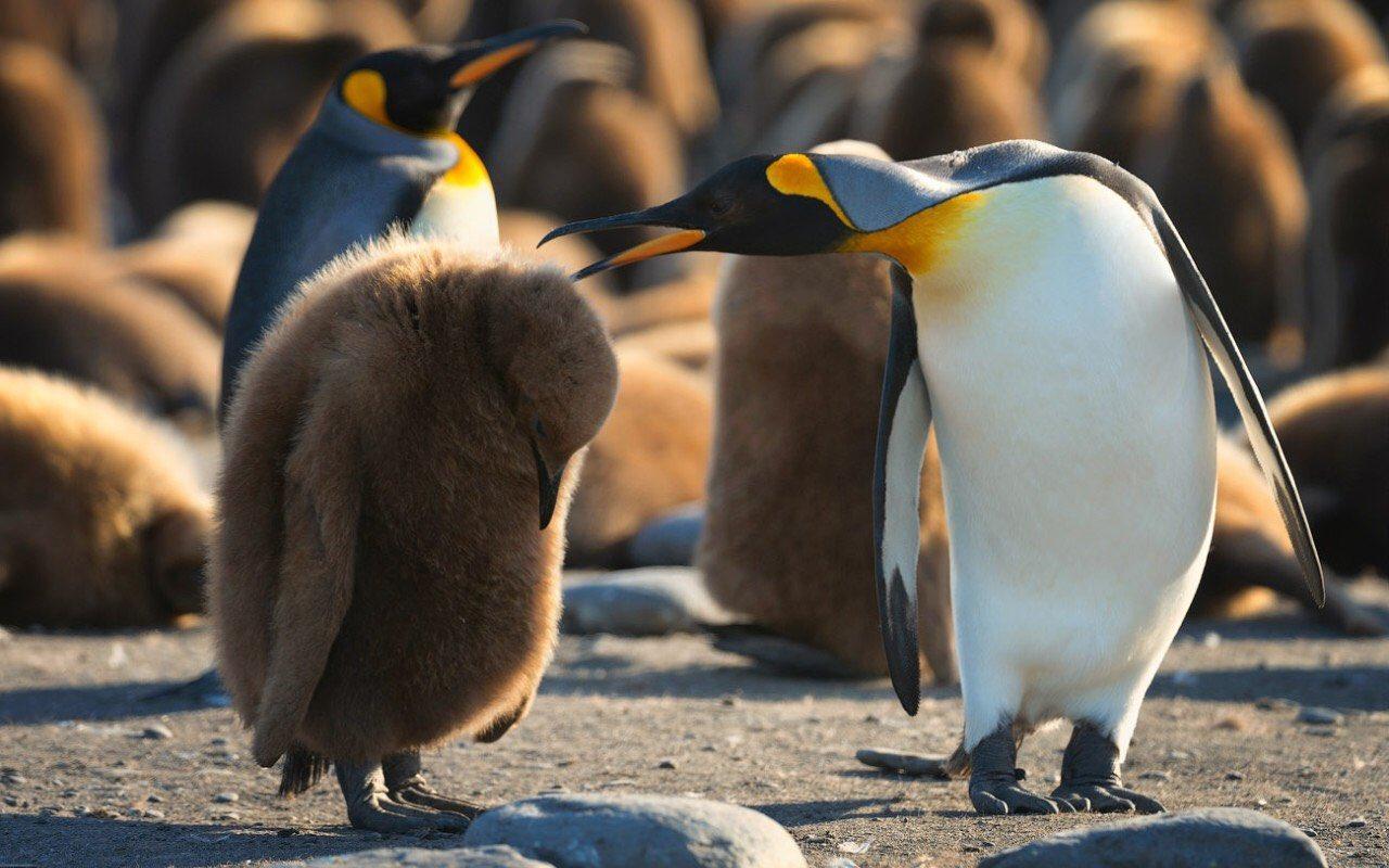 детеныш пингвина фото без женщины