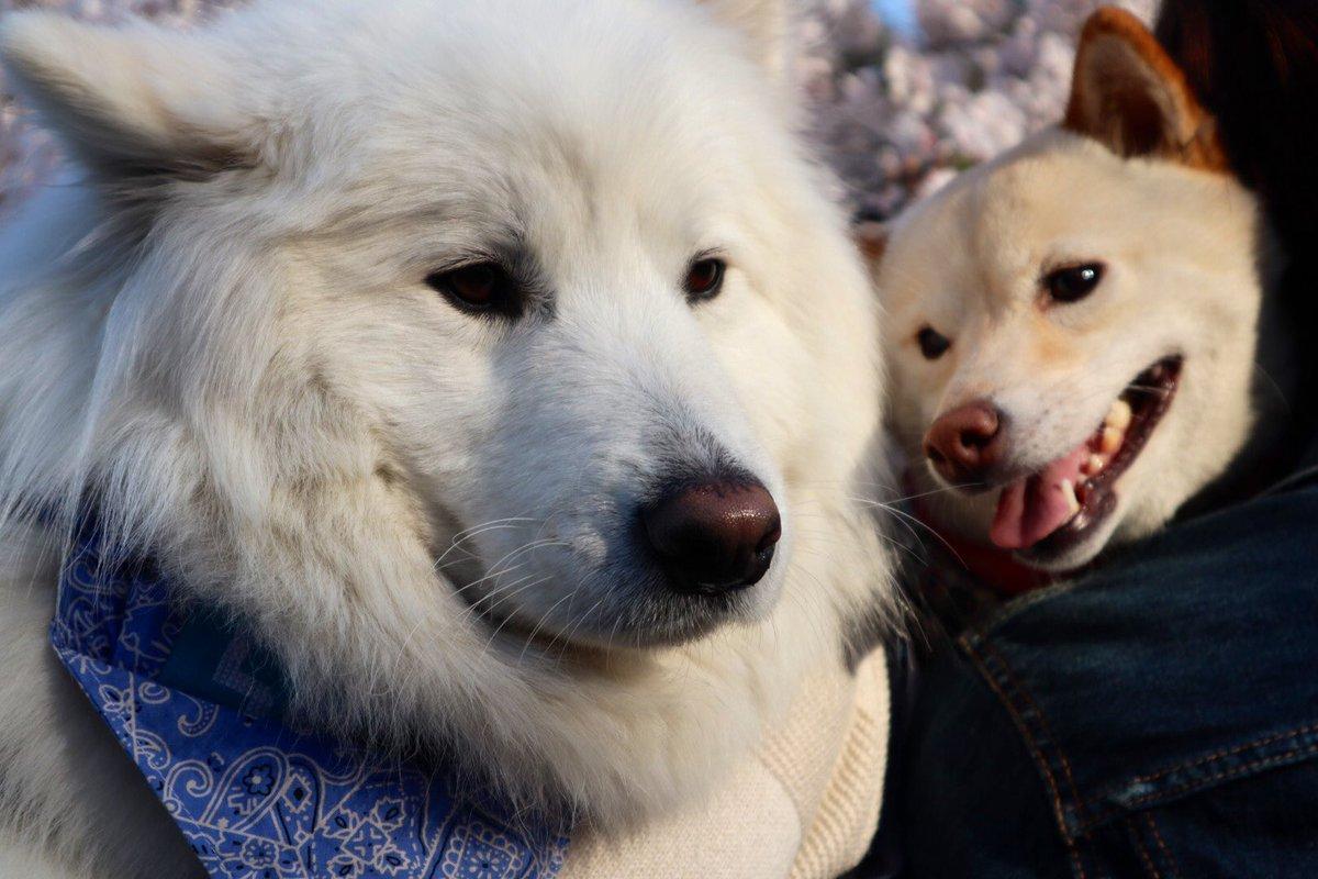 狂犬病予防接種に行ったら通りすがりの子供に「あの犬、顔でかい」って言われて飼い主ふふってなっちゃいました。 子供は正直だな、サモちゃん☺️ #サモエド #サモ #samoyed