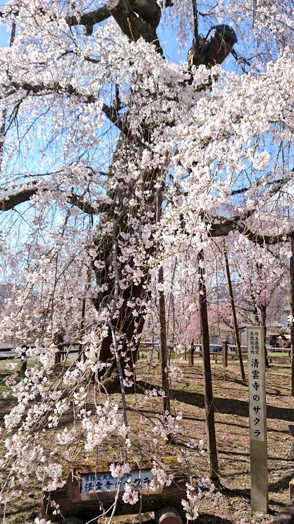 RT @beagle723: そんなに有名な枝垂れ桜とは 知りませんでした 4/3 三峯神社へ行った帰りに 寄ってきた 埼玉県 秩父 清雲寺の枝垂れ桜 樹齢600年  #帰れマンデー #枝垂れ桜 #秩父 #清雲寺 https://t.co/guvIl8r2un