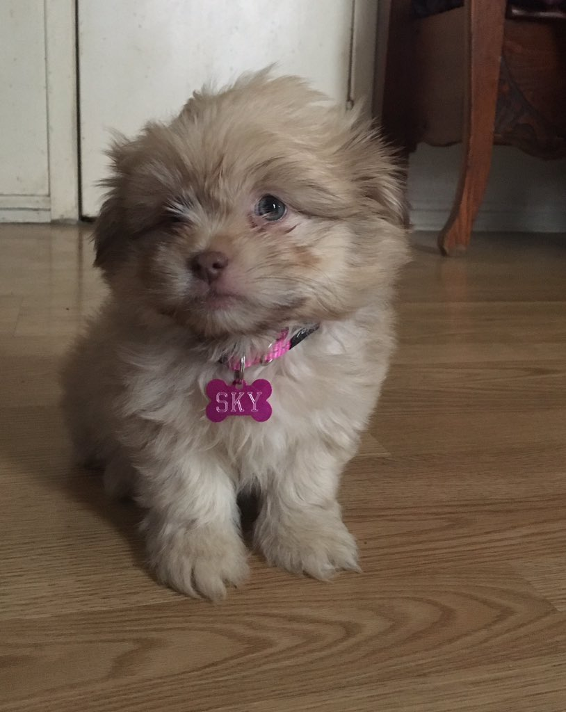 @dog_feelings Good morning! This is our newest baby. Her name is sky, she's 8 weeks old and she's getting all the attention in our house 💕 https://t.co/jC5MF9NU9t