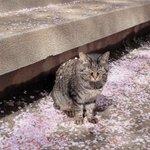 猫に桜が積もってる!お昼寝してたのかな?
