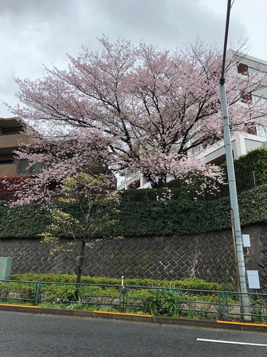 中原街道の桜の木