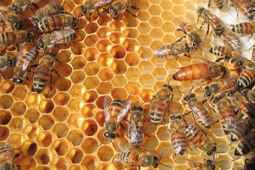 один древние пчелы фото эффективной