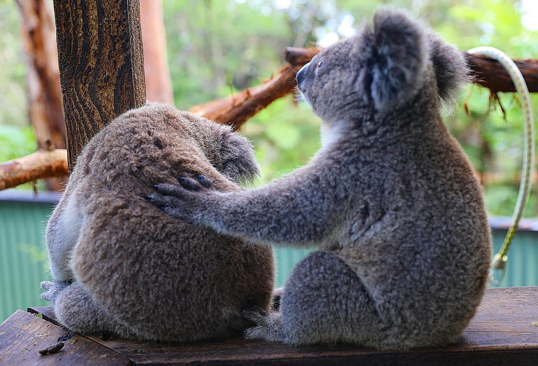"""It's alright, mate. There are plenty more fish… err, koalas in the bush.""   Who knew koalas gave such good dating advice? 🙊  (via @austreptilepark, @NewSouthWales)   #seeaustralia #newsouthwales"