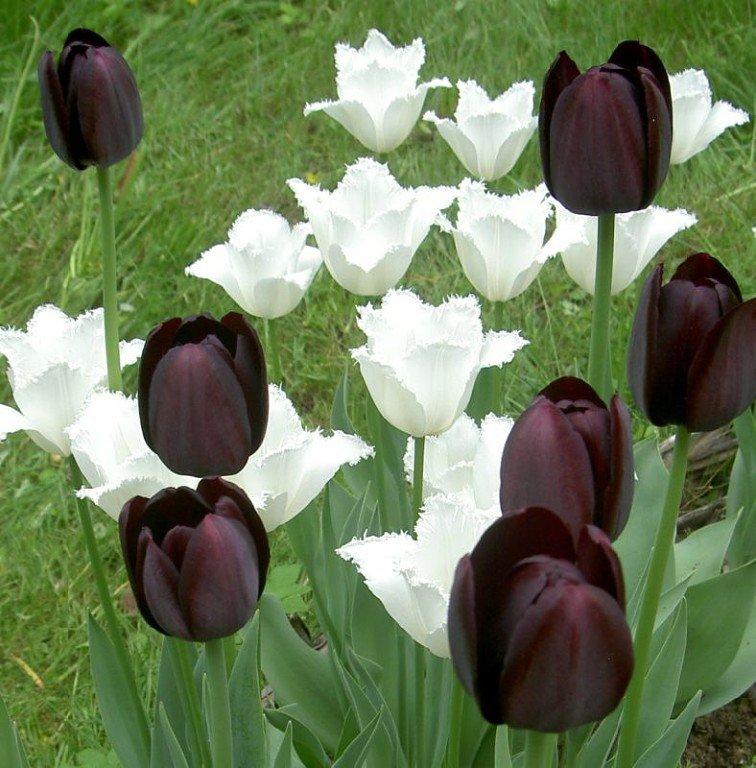можно использовать бывают ли черные тюльпаны фото действительно симпатична