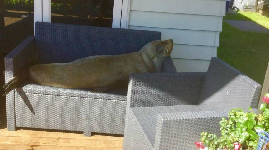 Fur seal makes himself at home on Whitianga couple's couch http://bit.ly/2Ink8tR