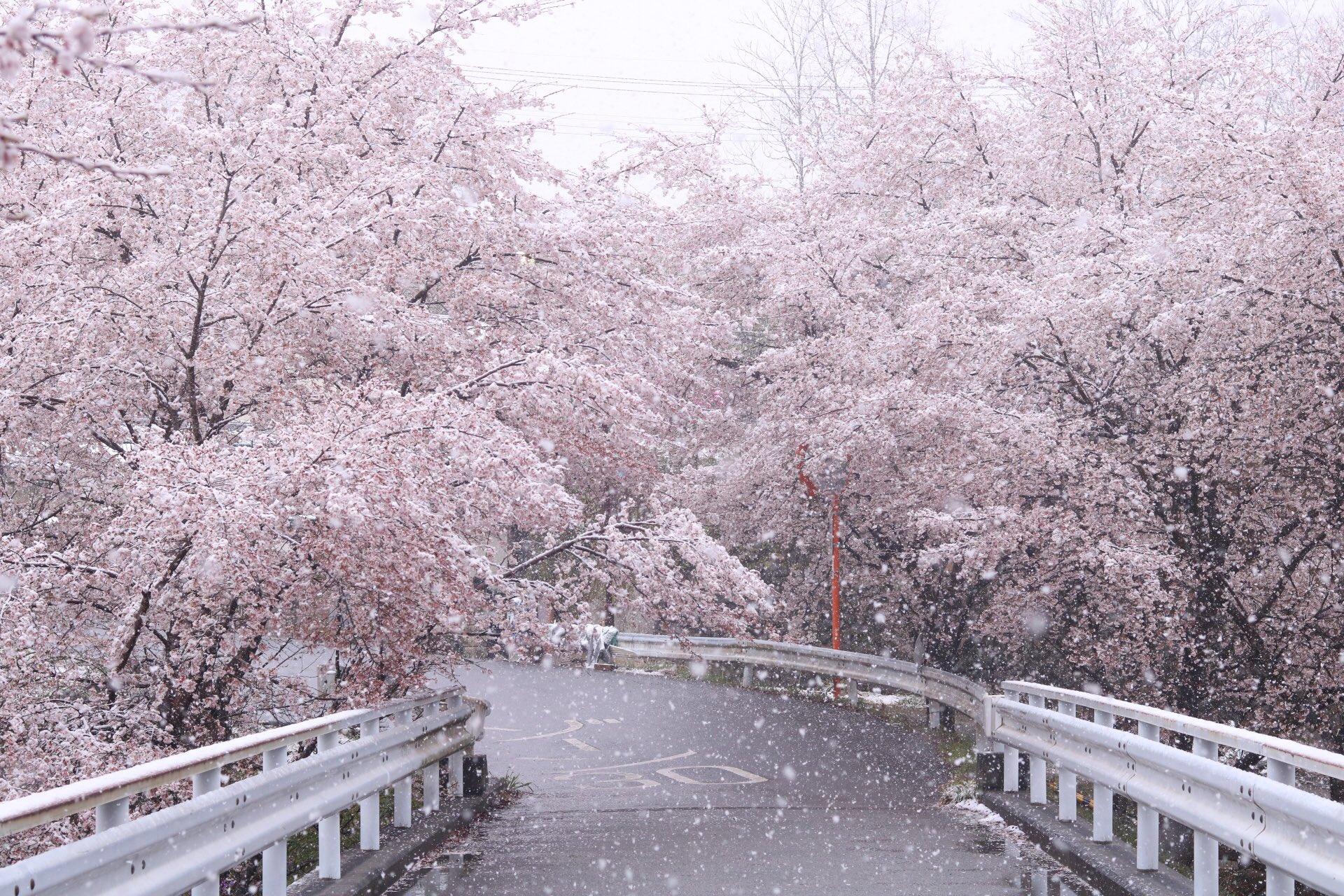 桜と雪 この最高コラボ撮ってみたかったんだ〜♥