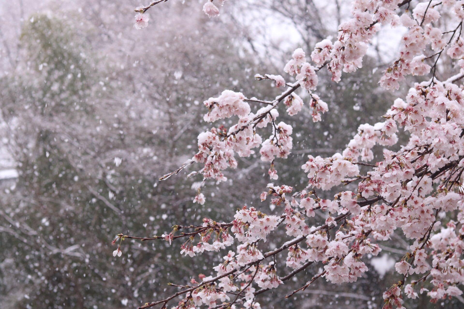 さくらと雪のコラボ‼自然現象で起こる美しい景色♪。.:*・゜♪。.:*・゜