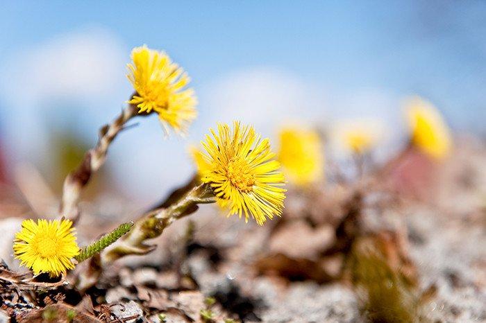 Under Valborgshelgen är det återigen dags att rapportera in en handfull vårtecken till Vårkollen. Hur långt har våren hunnit hos dig? http://www.mynewsdesk.com/se/sveriges_lantbruksuniversitet__slu/pressreleases/2863817…