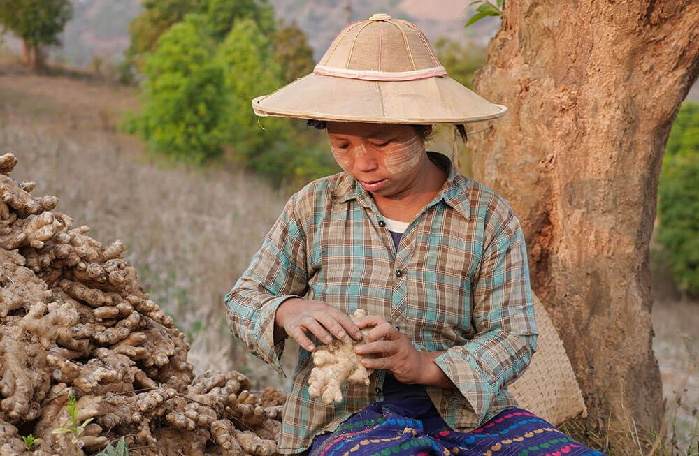 DYK 💡 the @ILO works #Myanmar to improve occupational safety and health, by proving ginger farmers access to information on the safe use of agrochemicals.  Find it more in Chapter 7⃣of our #ILO100 website: http://bit.ly/2EF4Pu6