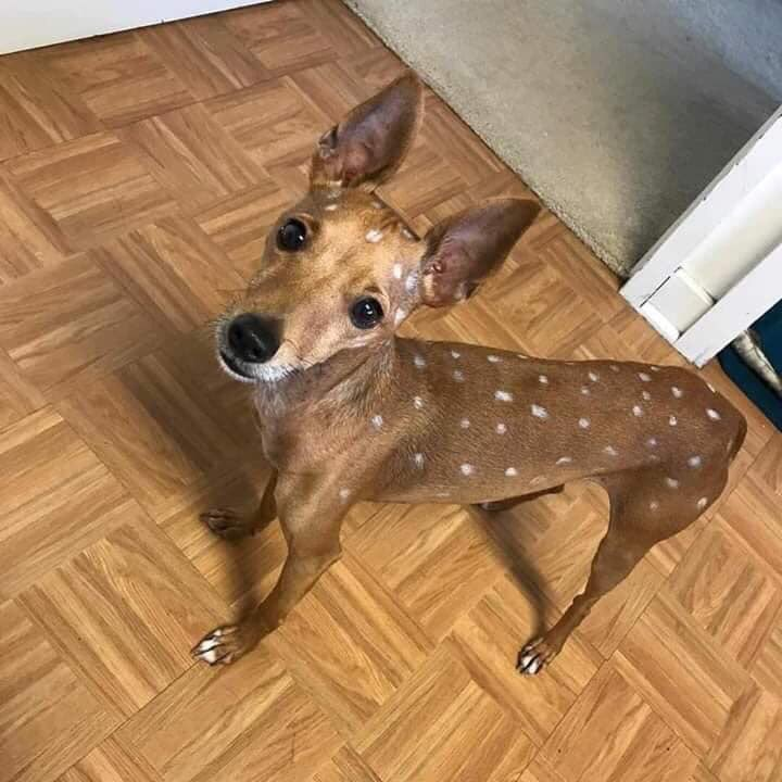 sellin dis deer, he bout 4 months. he sometimes barks but dats cus he bilingual. hmu for prices 💯